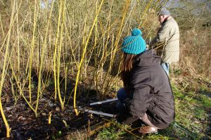 Coppicing the willow plants